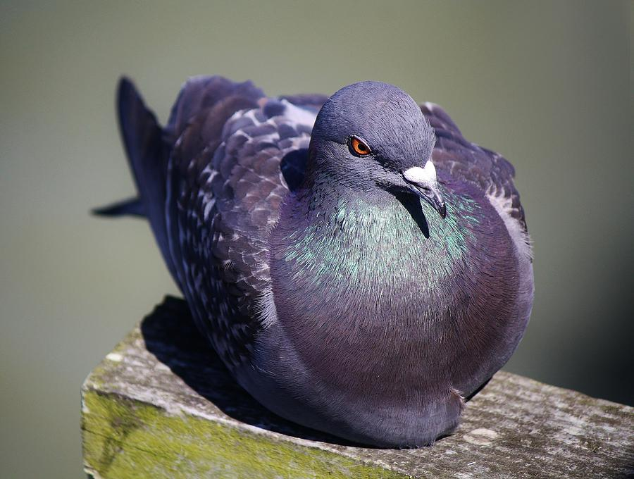 Pigeon Photograph - Pretty Pigeon by Paulette Thomas