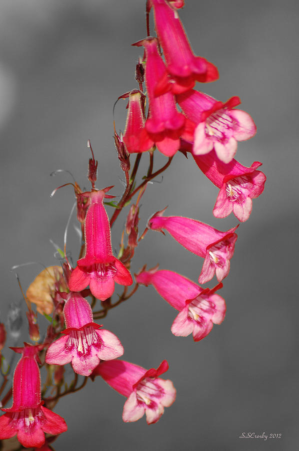 Pretty pink bell wild flowers photograph by susan stevens crosby pink flowers photograph pretty pink bell wild flowers by susan stevens crosby mightylinksfo Gallery