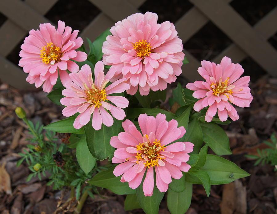 Flowers Photograph - Pretty Pink Flowers by Megan Cohen