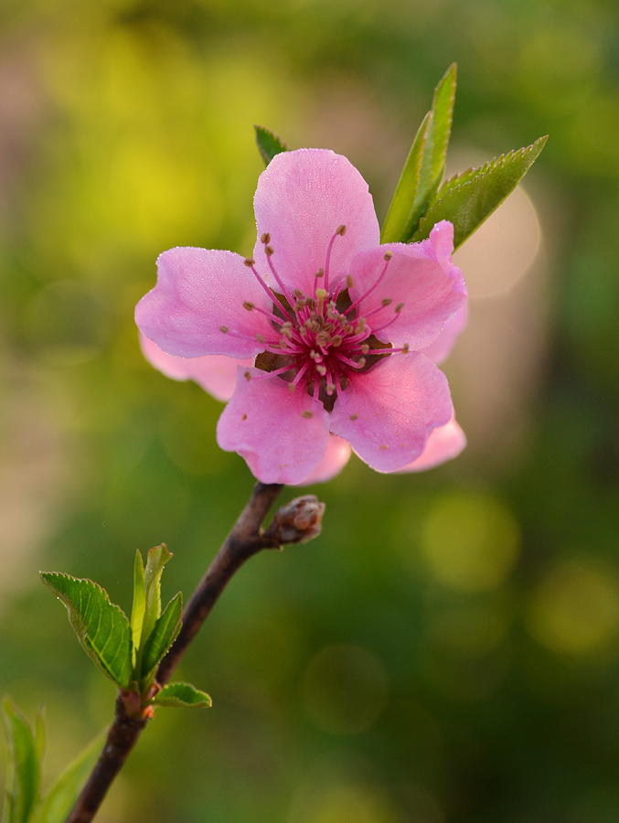 Flower Photograph - Pretty Pink Peach by JD Grimes