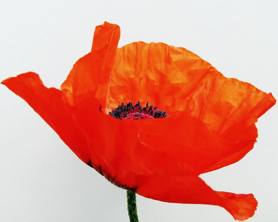 Flower Photograph - Pretty Poppy by Ramona Johnston