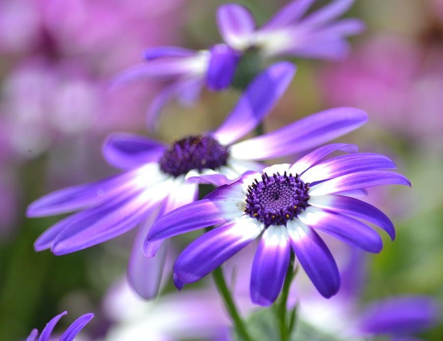 Pretty purple and white spring flowers photograph by p s spring photograph pretty purple and white spring flowers by p s mightylinksfo