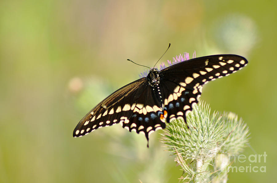 Butterfly Photograph - Pretty Swallowtail by Ginger Harris