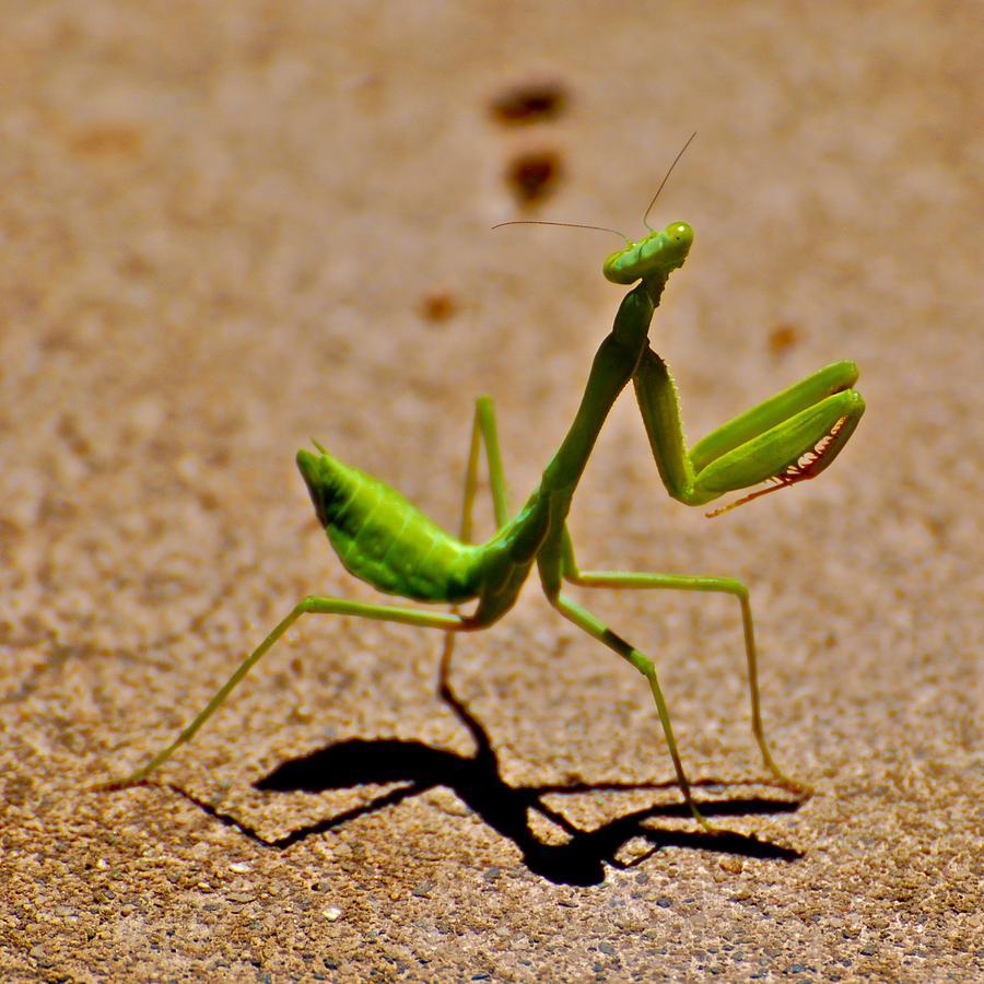 Praying Mantis Photograph - Preying Praying by Eric Tressler