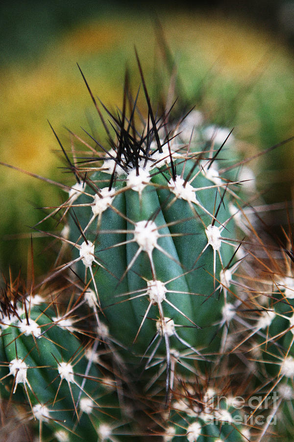Cactus Photograph - Prickly  by Leslie Leda
