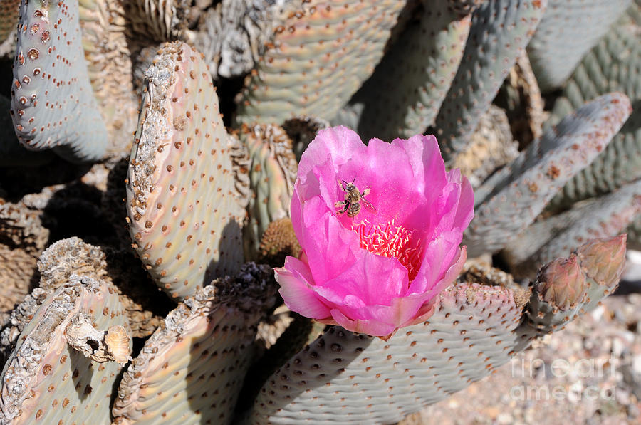 Fertilize Photograph - Prickly Pear Cactus Fertilized By Honey Bee by Gary Whitton