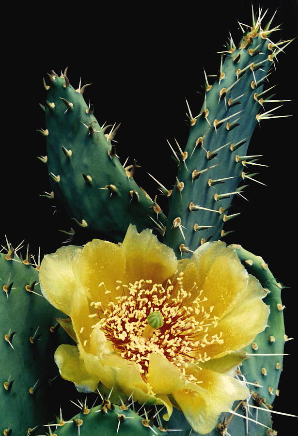 Cactus Photograph - Prickly Pear Cactus Flower by Angie Vogel