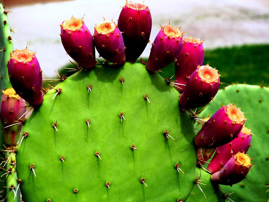 Prickly Pear Cactus With Fruit Photograph By David Killian