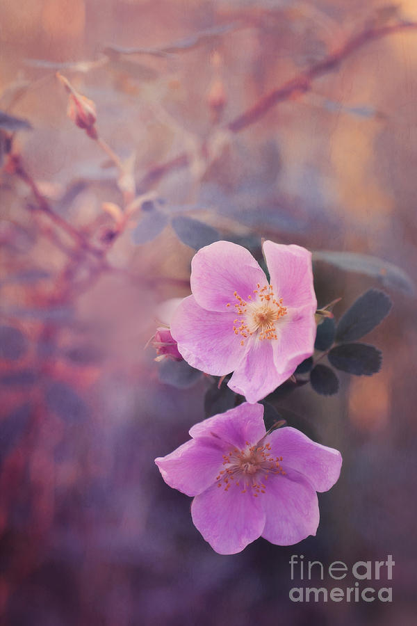 Rosa Acicularis Photograph - Prickly Rose by Priska Wettstein