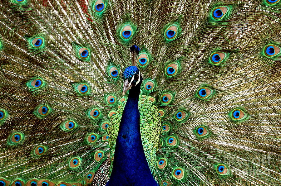Peacock Photograph - Pride  by Johanne Peale