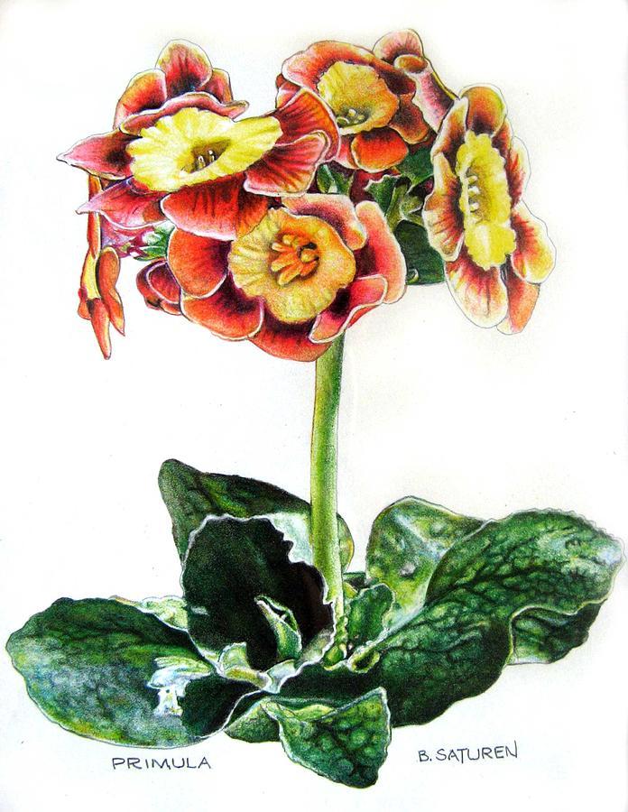 Primrose Drawing by Ben Saturen