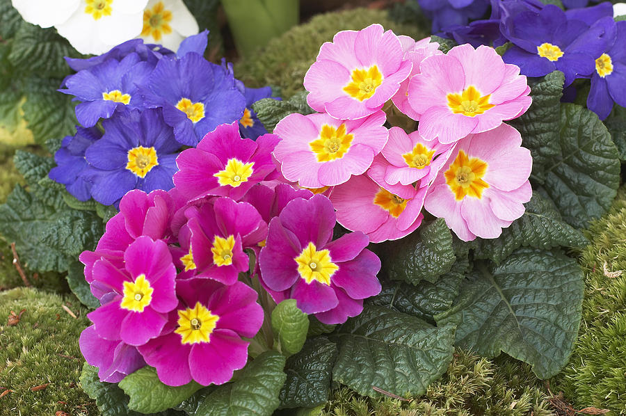 Primrose Primula Sp Flowers Photograph By Visionspictures