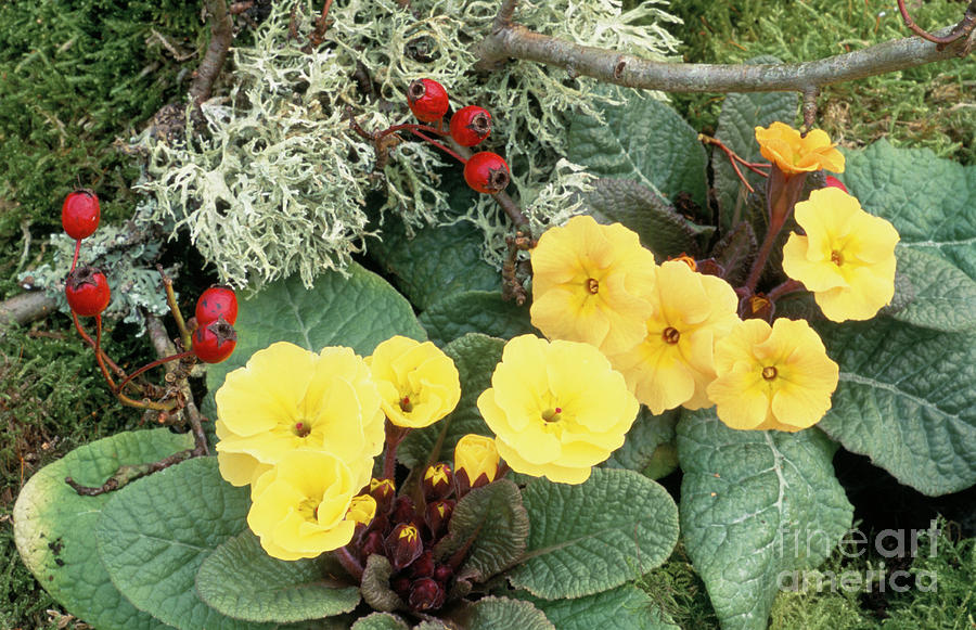 Primrose Photograph - Primroses by Archie Young