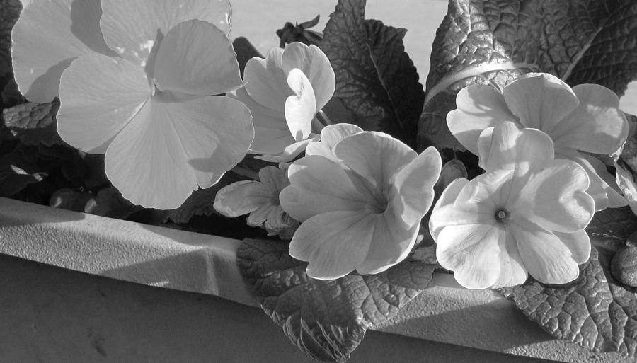 Black And White Photograph - Primroses In Black And White by Karen Molenaar Terrell