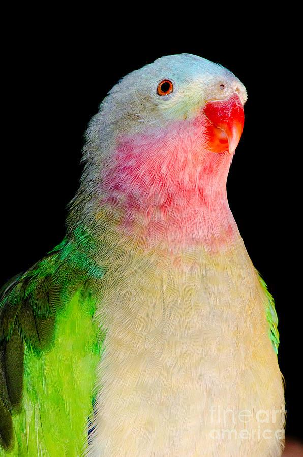 Princess Parrot Polytelis Alexandrae Western Australia Photograph