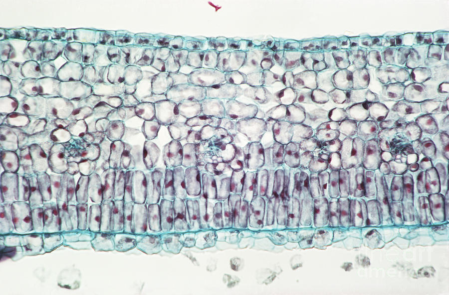 Privet Leaf Palisade Cells Photograph by M. I. Walker