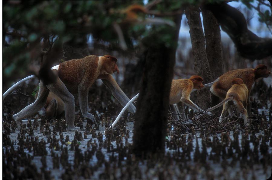 Proboscis Monkeys Photograph - Proboscis Monkeys Travel Over Mangrove by Tim Laman