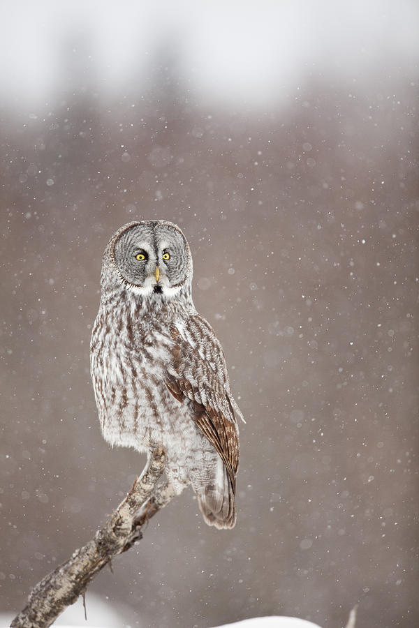 Alaska Photograph - Profile Of A Great Gray Owl by Tim Grams