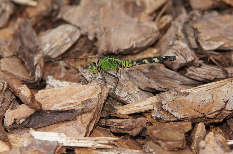 Dragonfly Photograph - Profile Of Green Dragonfly by Megan Cohen