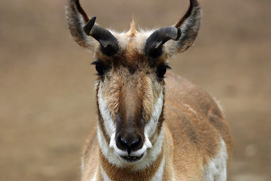 Pronghorn Photograph - Pronghorn by Karol Livote