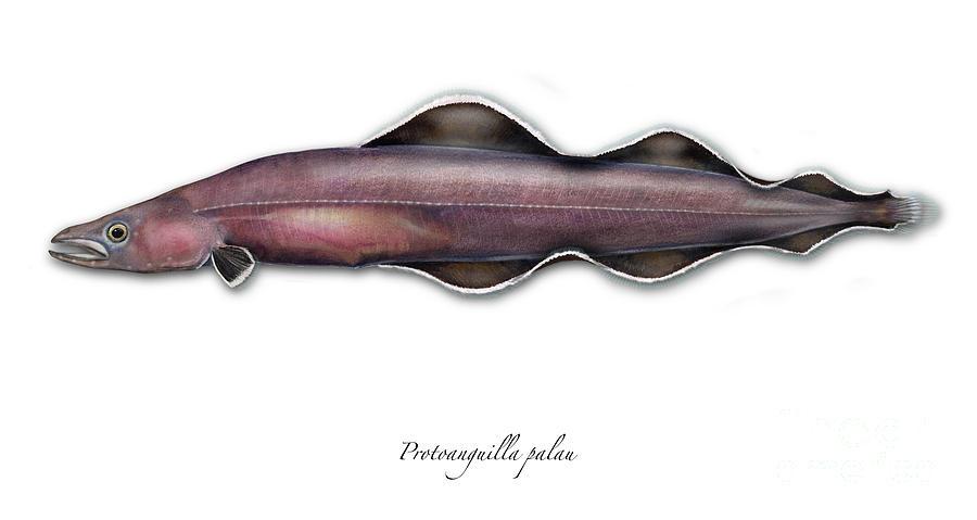 Fisch Painting - Protoanguilla Palau - Print Stock Images Science Scientific Natural History Illustrations by Nature-Interpretation-Panels - Naturlehrtafeln - Schautafeln Maassen-Pohlen