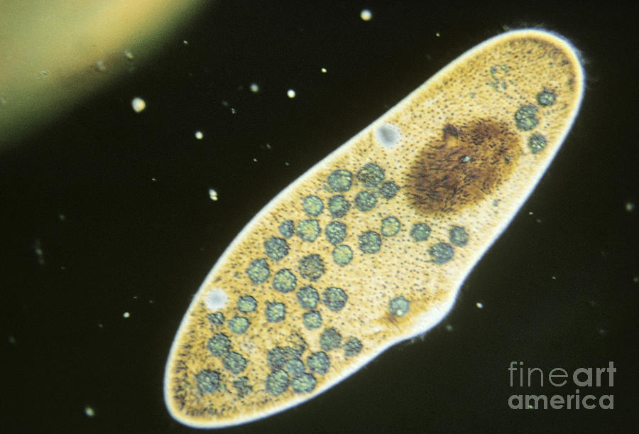 Plankton Photograph - Protozoa, Paramecium Caudatum, Lm by Eric V. Grave