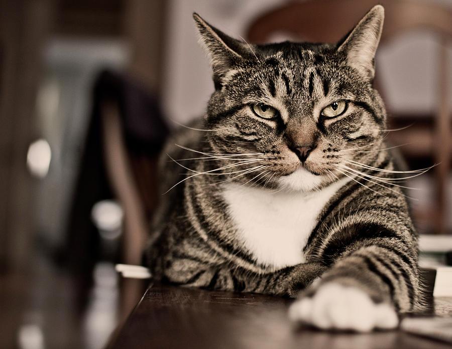 Horizontal Photograph - Proud Cat by Olga Tremblay