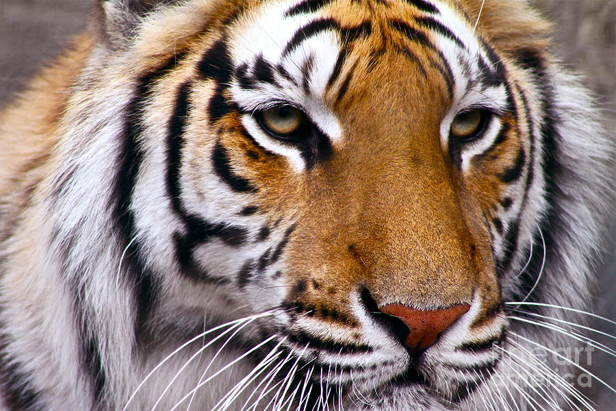 Bengal Tiger Photograph - Proud by Eric Chapman