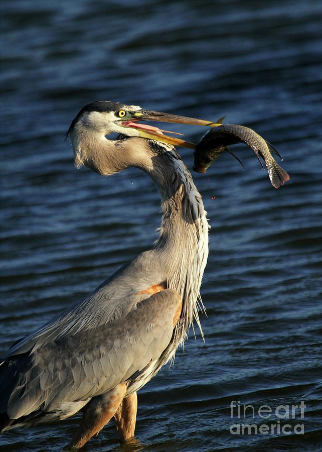 Heron Photograph - Proud Fisherman by Sabrina L Ryan