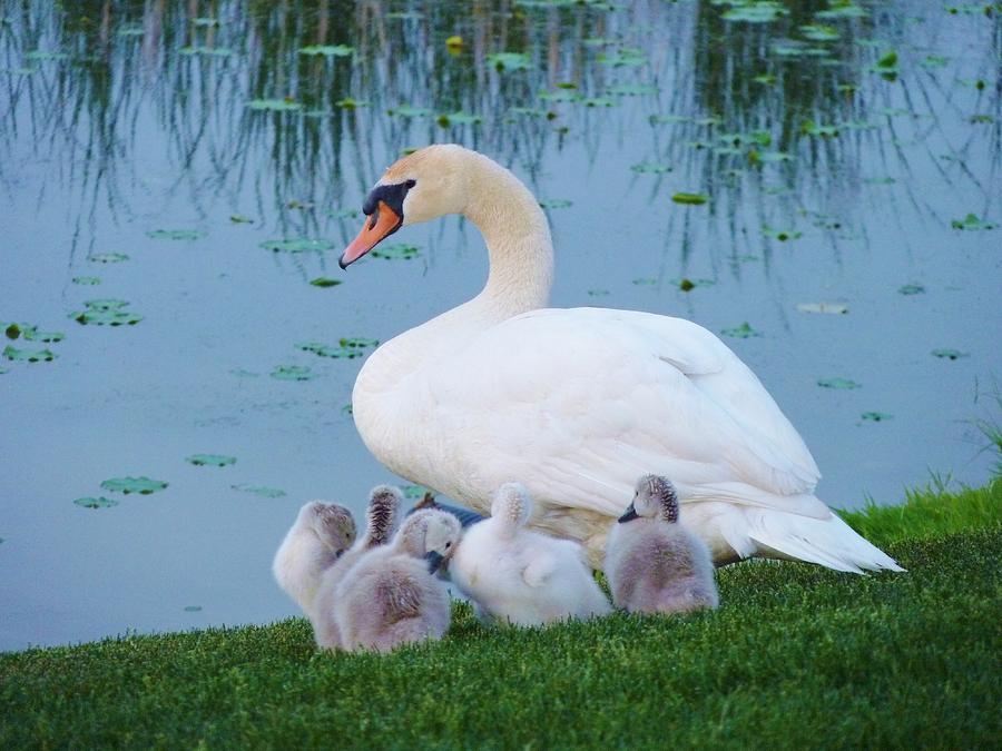 Birds Photograph - Proud Mother Swan by Jeanette Oberholtzer