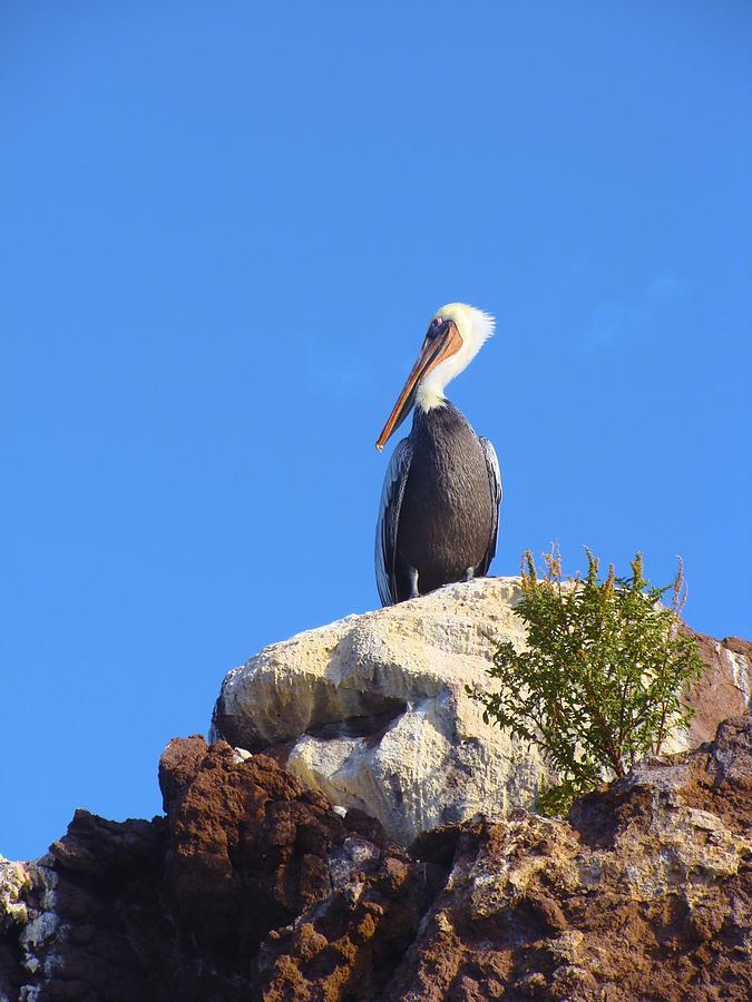 Bird Photograph - Proud Pelican by Ramie Liddle