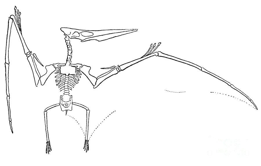 Terrestrial Vertebrate Photograph - Pteranodon Longiceps by Science Source
