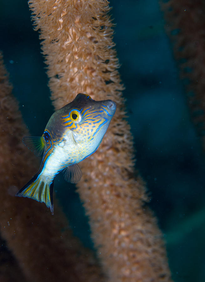 Belize Photograph - Puffer Profile by Jean Noren