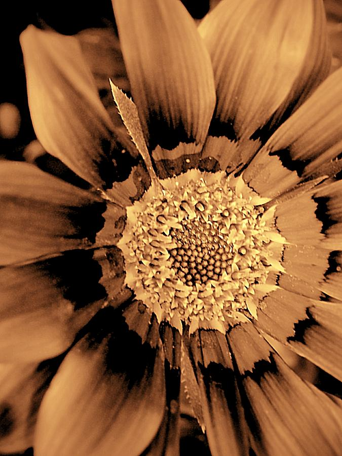 Daisy Photograph - Pull To The Center by Beth Akerman