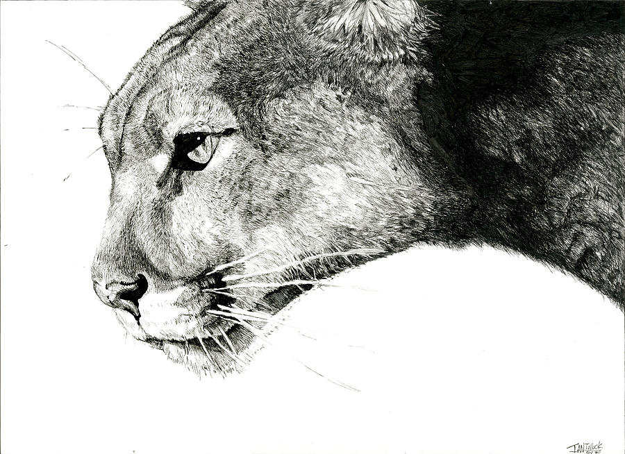 black puma drawing