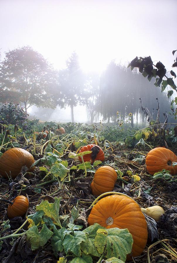 Agriculture Photograph - Pumpkin Patch, British Columbia by David Nunuk