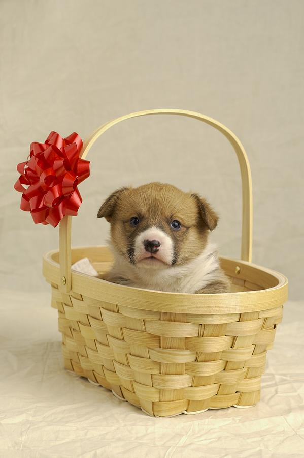 Animal Photograph - Puppy In A Basket by Ron Nickel