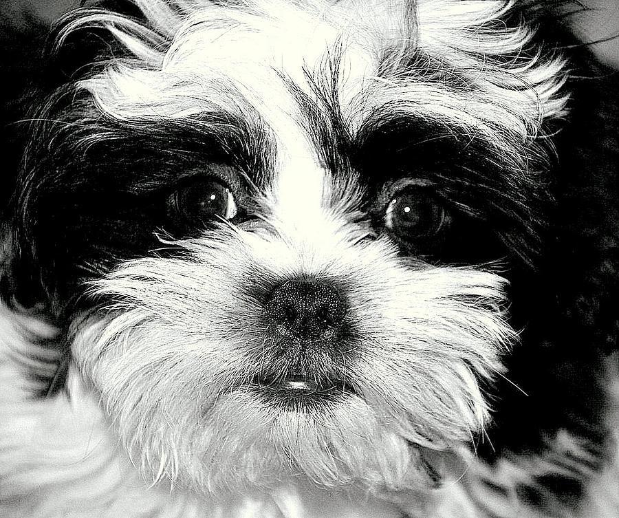 Puppy Photograph - Puppy Love by Antonia Citrino