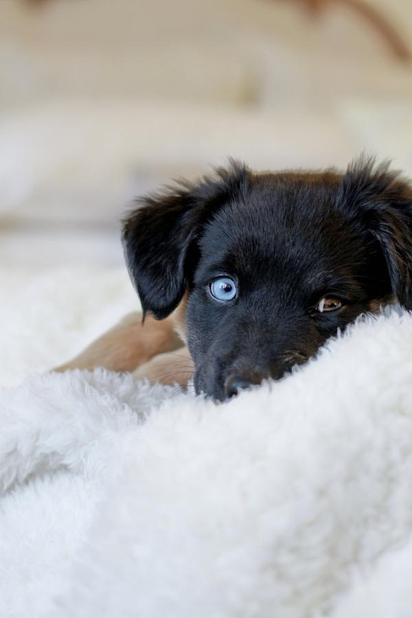 Vertical Photograph - Puppy Lying On Soft Blanket by Angela Auclair