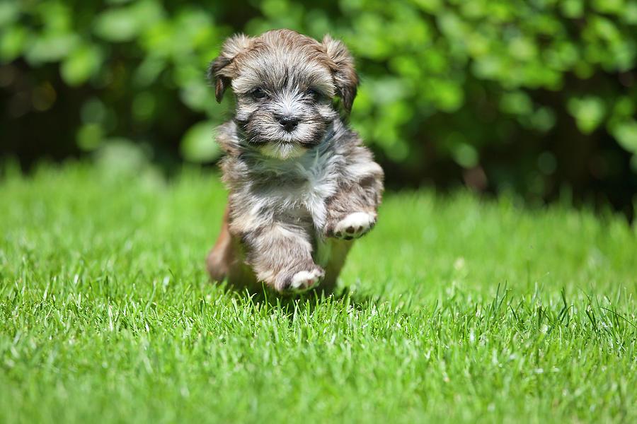 Horizontal Photograph - Puppy Running On Grass by @Hans Surfer