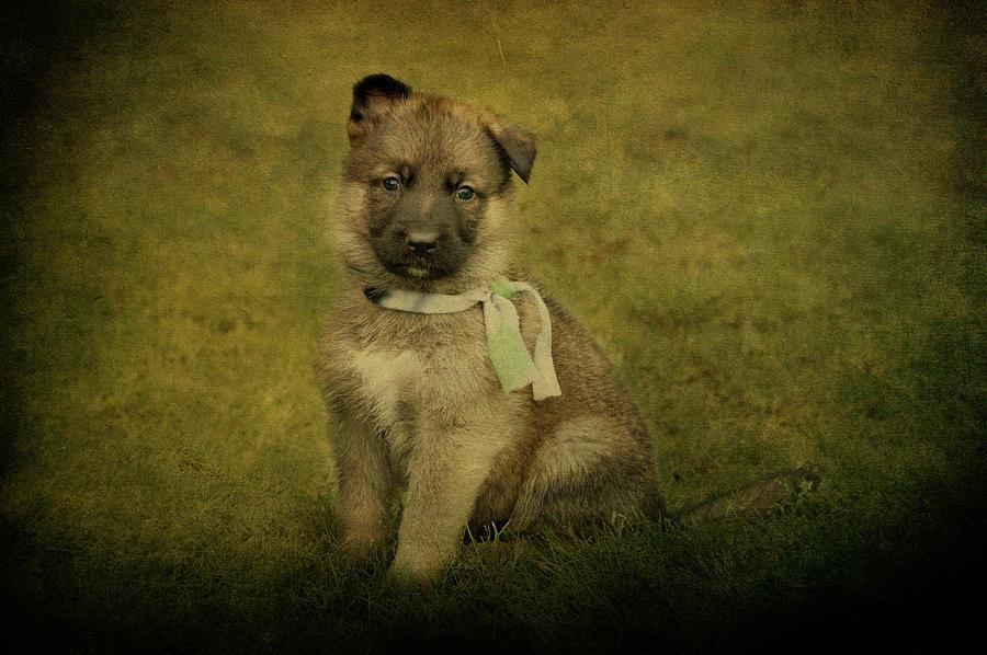 German Shepherd Photograph - Puppy Sitting by Sandy Keeton