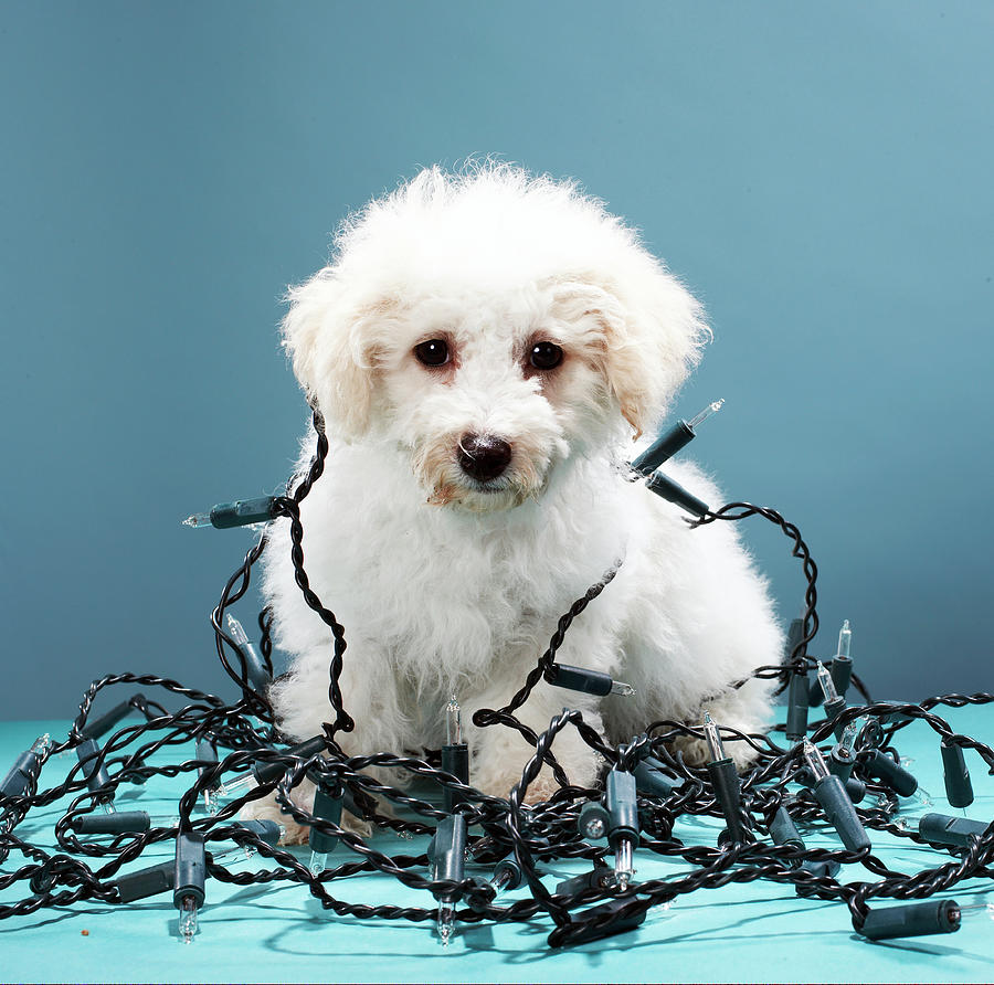 Puppy Tangled In Christmas Lights Photograph by Martin Poole