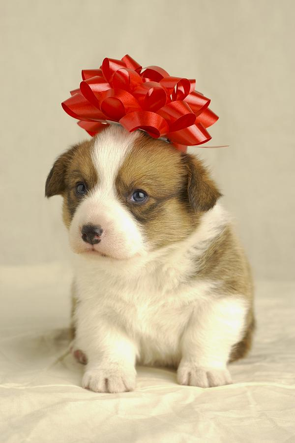 Puppy Wearing A Red Bow Photograph By Ron Nickel
