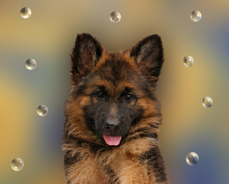 German Shepherd Photograph - Puppy With Bubbles by Sandy Keeton