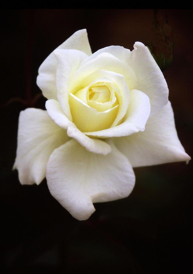 Rose Photograph - Pure by Rosalie Scanlon