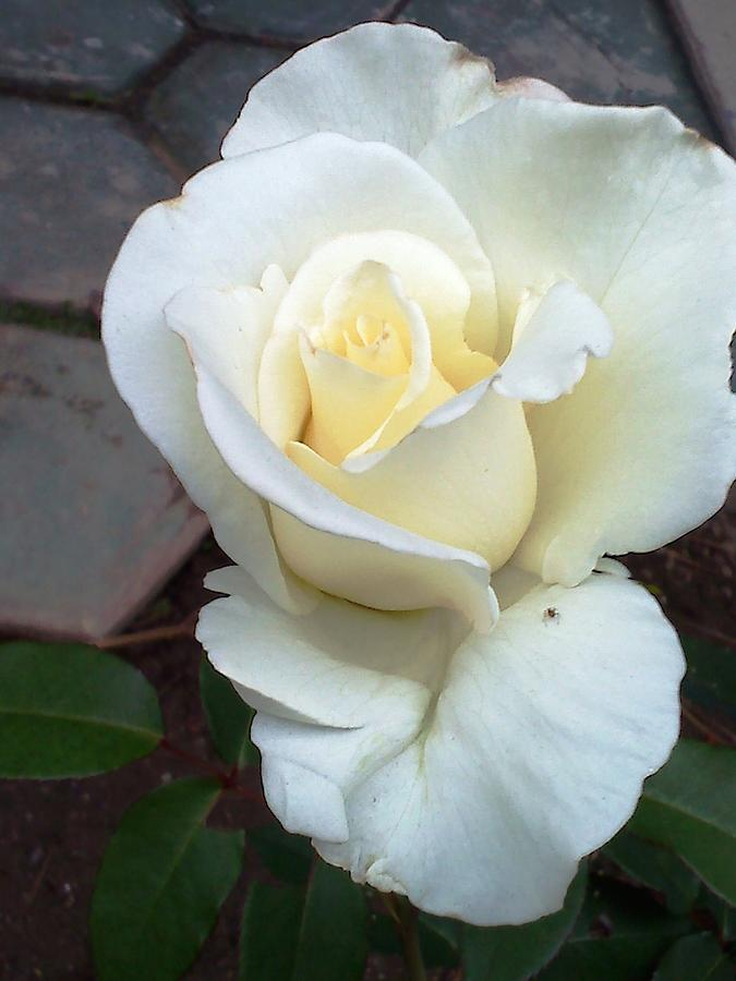 White Rose Photograph - Pure White Rose by Leslye Miller