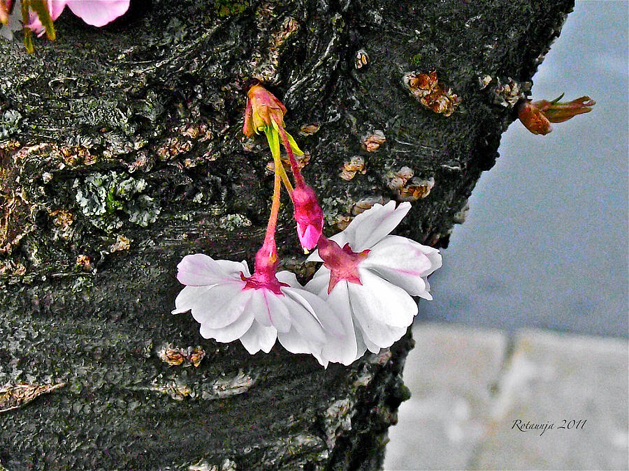Cherry Blossom Photograph - Pure Wisdom by Rotaunja