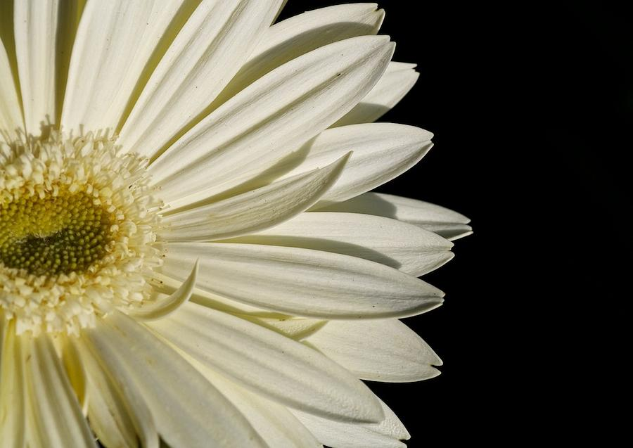 Flower Photograph - Purity by Jyotsna Chandra