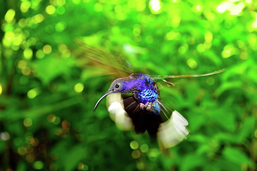 Purple and Blue Hummingbird  by Harry Spitz