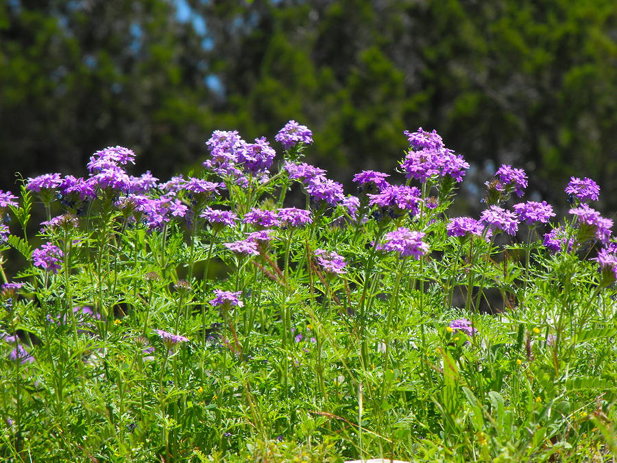 Purple Texas Wildflowers Photograph - Purple And Green by Rebecca Cearley